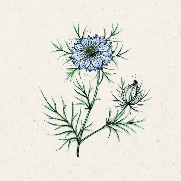 Blumensamen Nigella damascena
