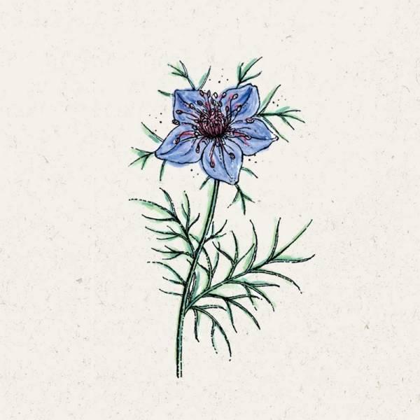 Blumensamen Nigella hispanica