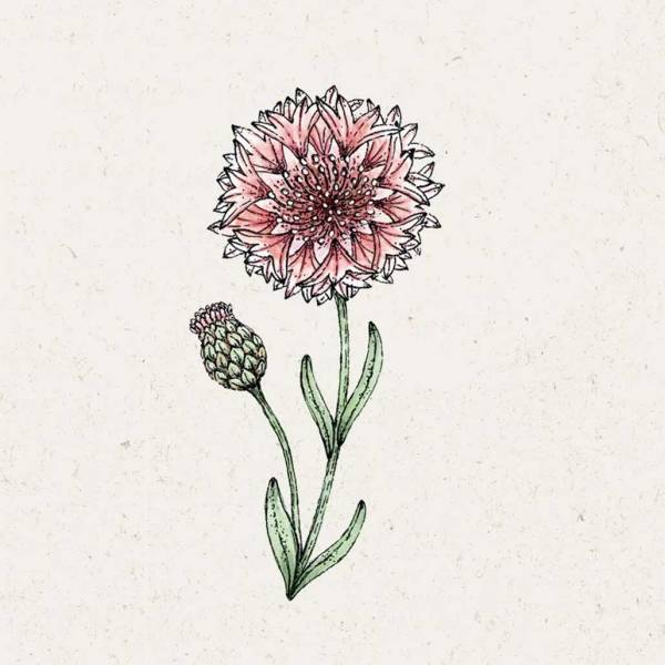 Blumensamen Centaurea Cyanus Classic Romantic Kornblume