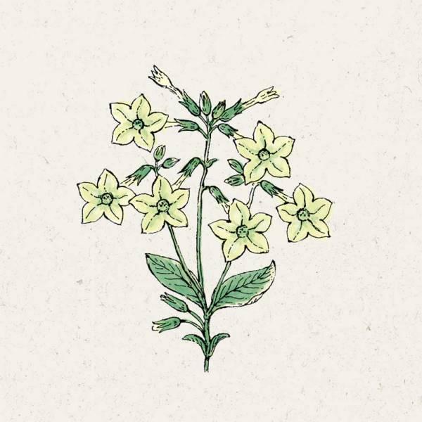 Blumensamen Nicotiana alata Lime Green Ziertabak