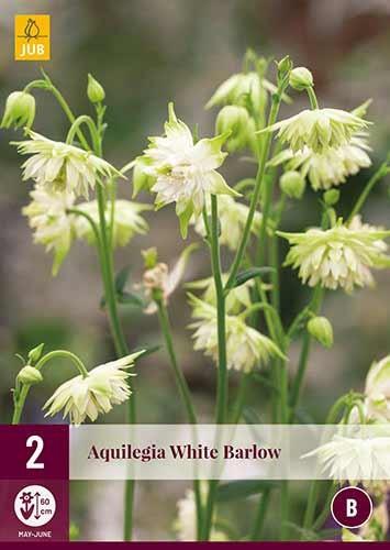 Aquilegia »White Barlow« - Akelei