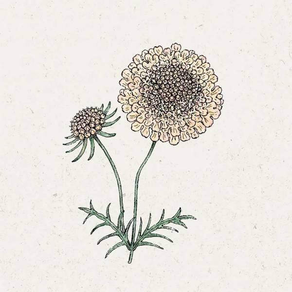 Blumensamen Skabiose Fata Morgana