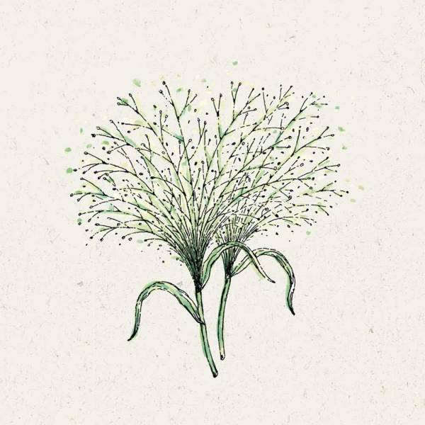Blumensamen Panicum virgatum