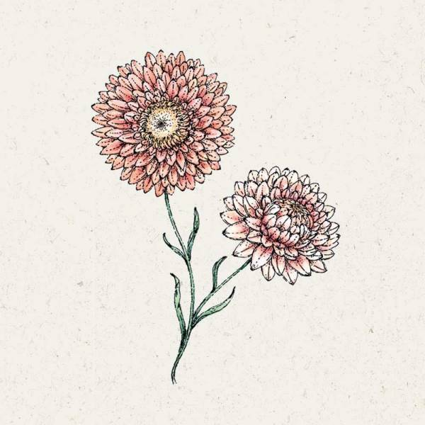 Blumensamen Strohblume