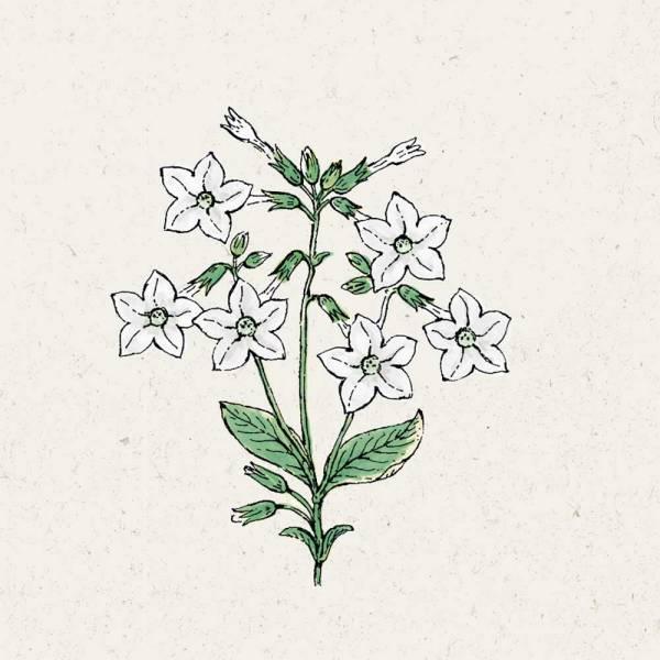 Blumensamen Nicotiana alata Grandiflora Ziertabak