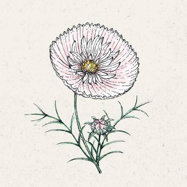 Blumensamen Cosmos bipinnatus »Cupcake Blush« (Kosmee)