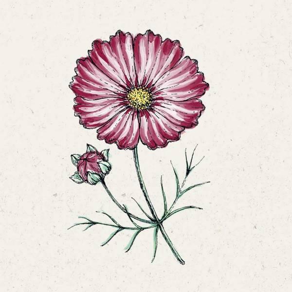 Blumensamen Cosmos bipinnatus »Velouette« (Kosmee)