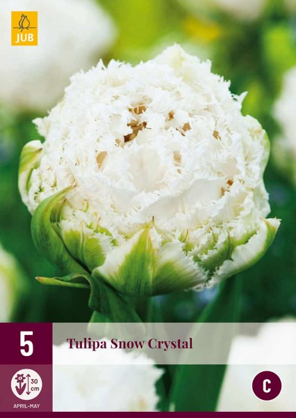Tulpe Snow Crystal