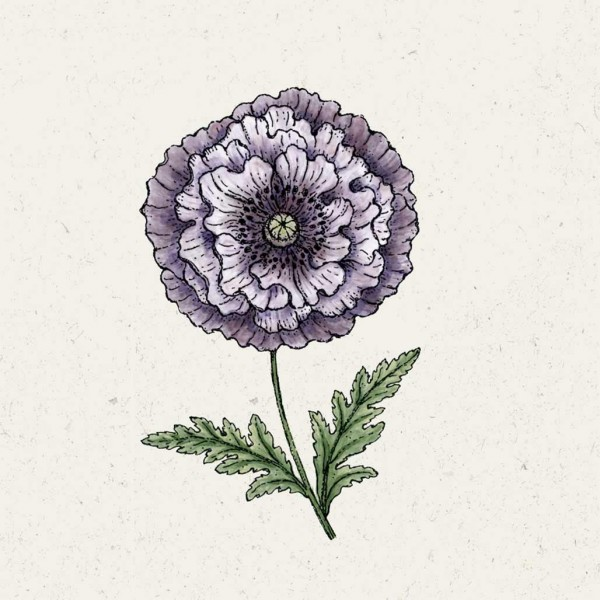 Blumensamen Papaver rhoeas »Amazing Grey« (Klatschmohn)