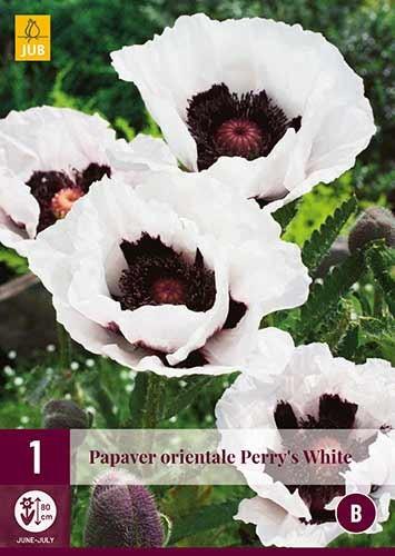 Orientalischer Mohn Perry's White