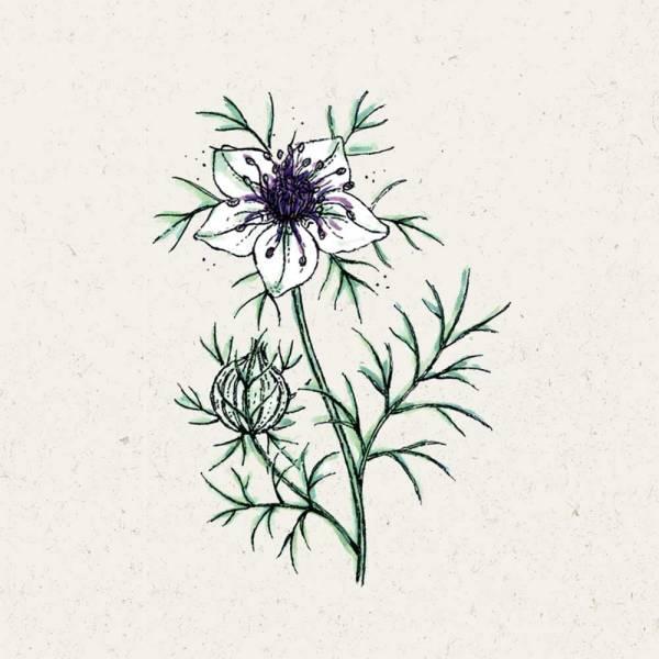 Blumensamen Nigella papillosa