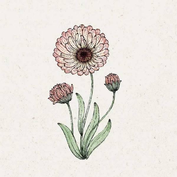 Blumensamen Ringelblume