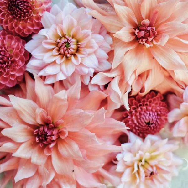 Dahlienkollektion Peachy & Rose
