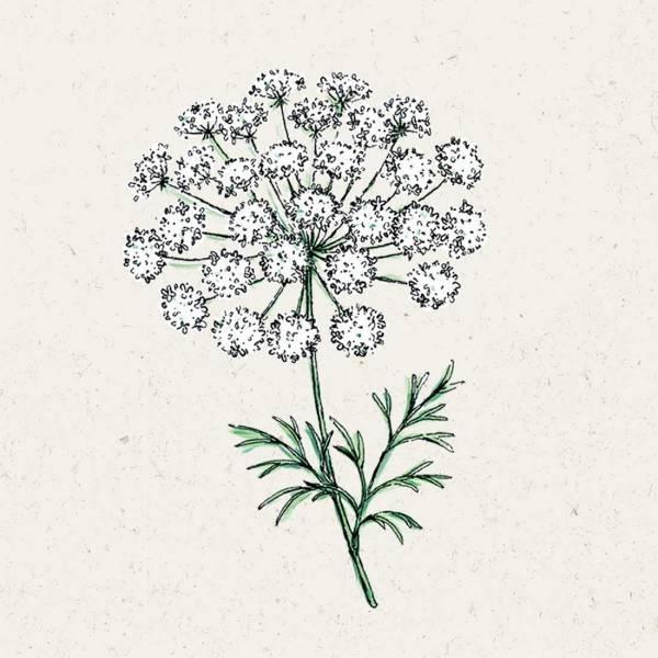 Blumensamen Ammi majus Knorpelmöhre