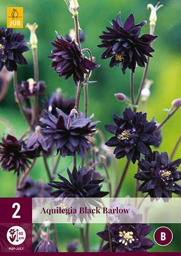 Akelei Aquilegia Black Barlow