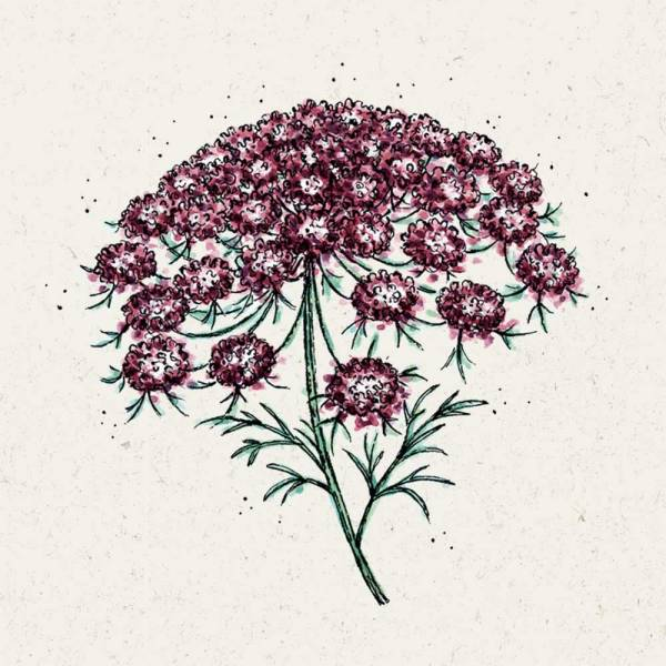 Blumensamen Wilde Möhre Dara
