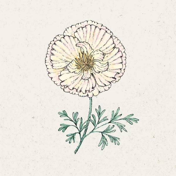 Blumensamen Eschscholzia californica