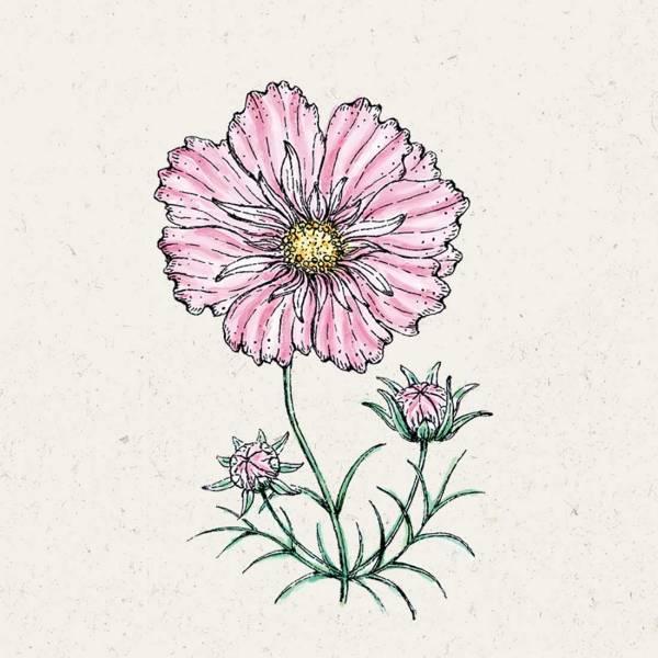 "Blumensamen Cosmos bipinnatus ""Rosetta"""
