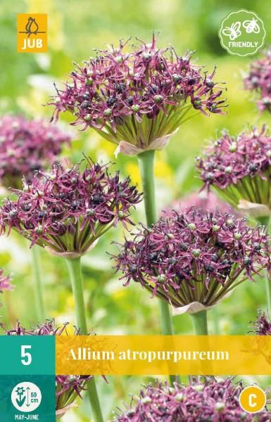 Zierlauch Allium atropurpureum