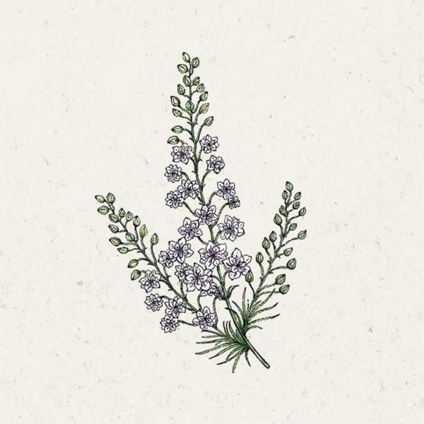 Blumensamen Delphinium Consolida »Fancy Smokey Eyes« (Rittersporn)