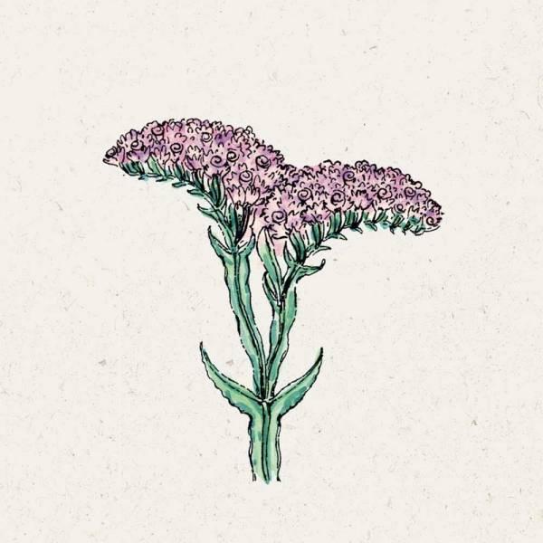 Blumensamen Limonium sinuatum QIS Pastel
