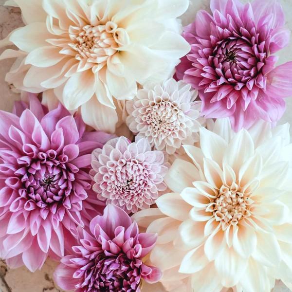 Dahlienkollektion Soft Lavender