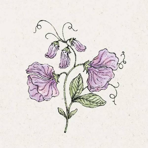 Blumensamen Lathyrus Odortatus Elegance Lavender Duftwicke