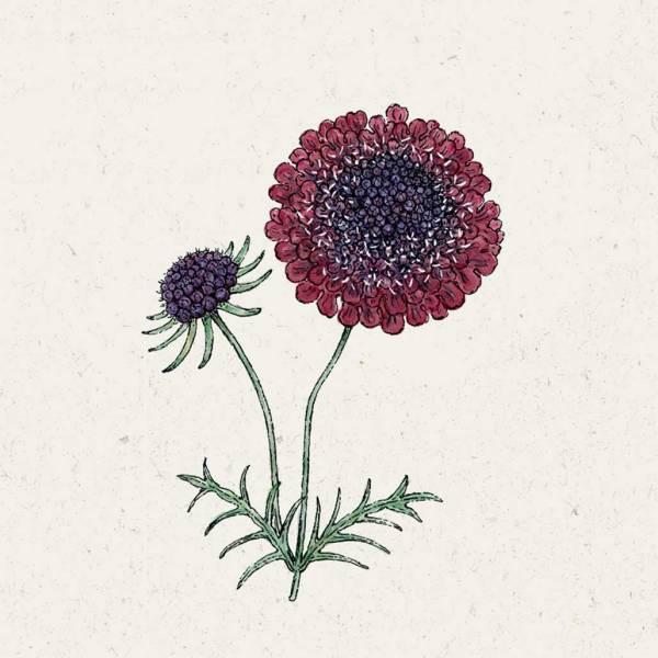 Blumensamen Skabiose