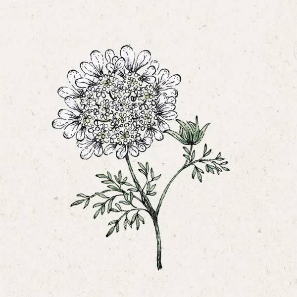 Blumensamen Orlaya Grandiflora White Lace Strahldolde
